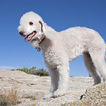 IMG_3968 Bedlington Terrier
