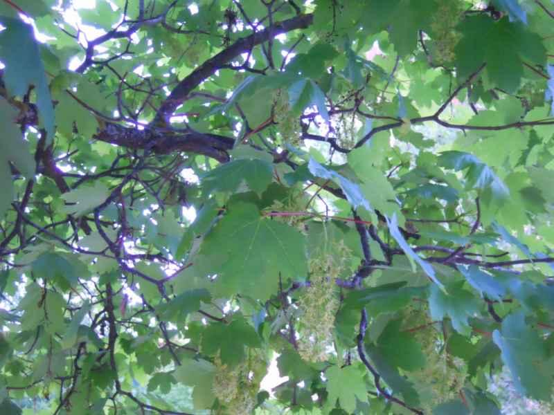 Acer platanoides.. 2