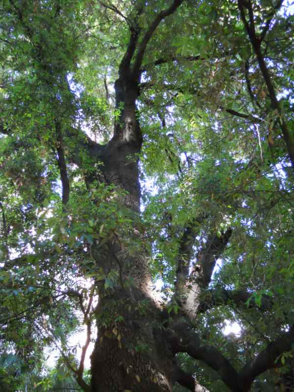 Quercus ilex v 5