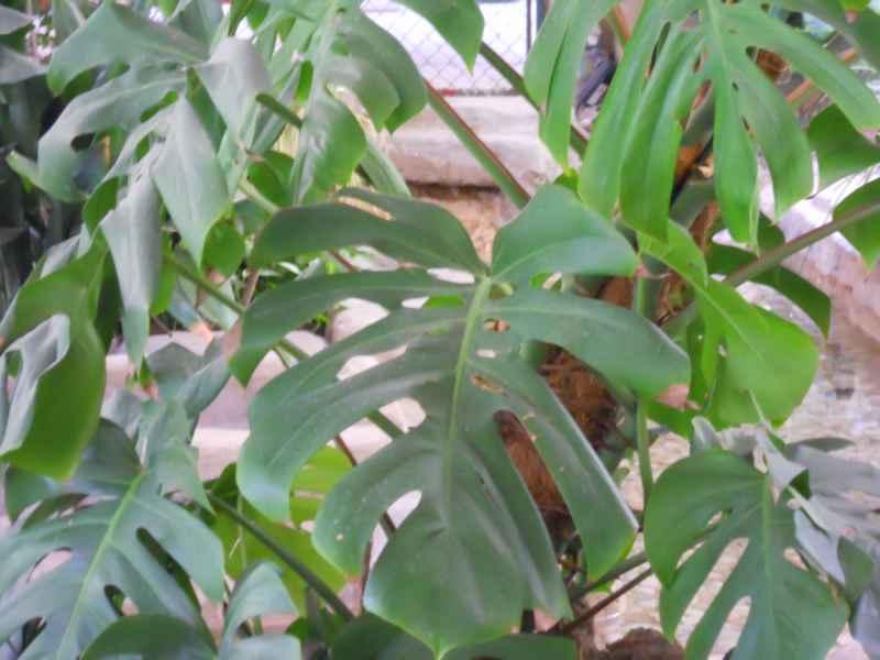 Philodendron pertusum 2