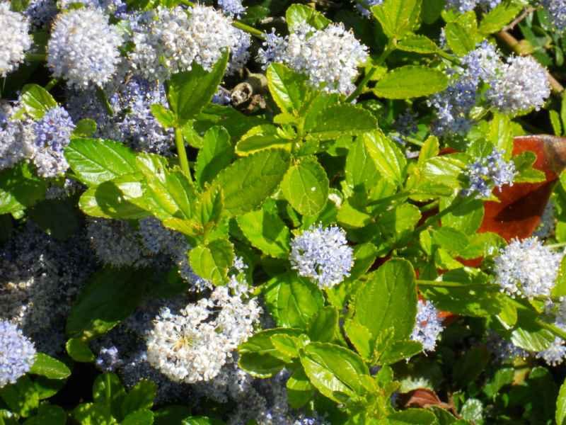 Ceanothus caeruleus 'Burkwoodii'.. detalle 1