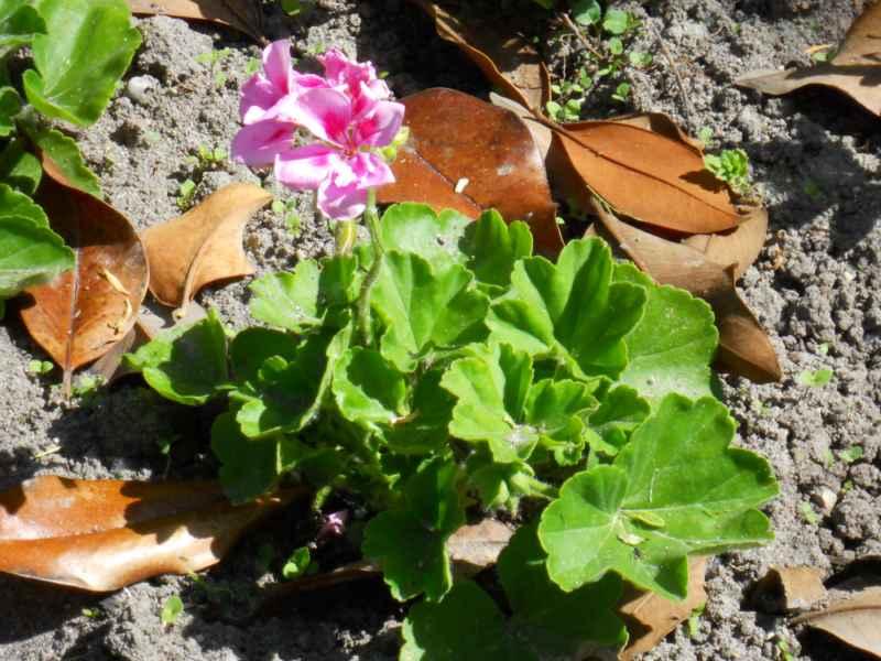 Pelargonium peltatum rosa 2