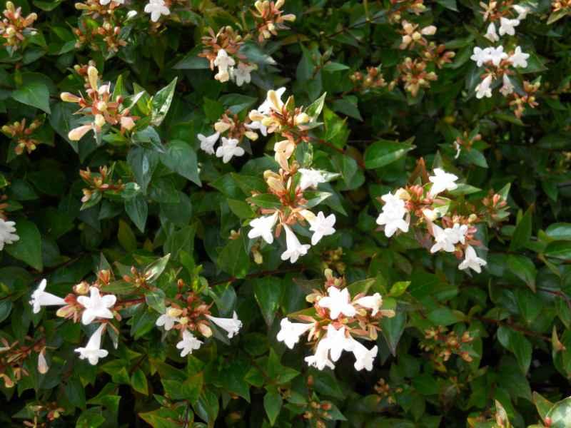 Abelia floribunda v 1