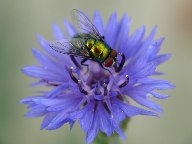 Fly on Blue Wildflower