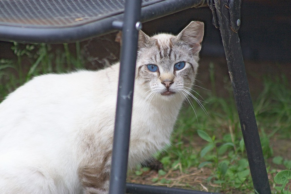 Feral Cat w/Eartip by Chriss Pagani