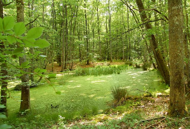 Mare verte - Forêt de Tronçais (Allier)