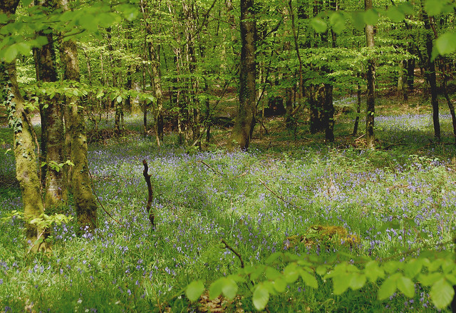 Tapis de jacinthes - Forêt d'Andaine (Orne)