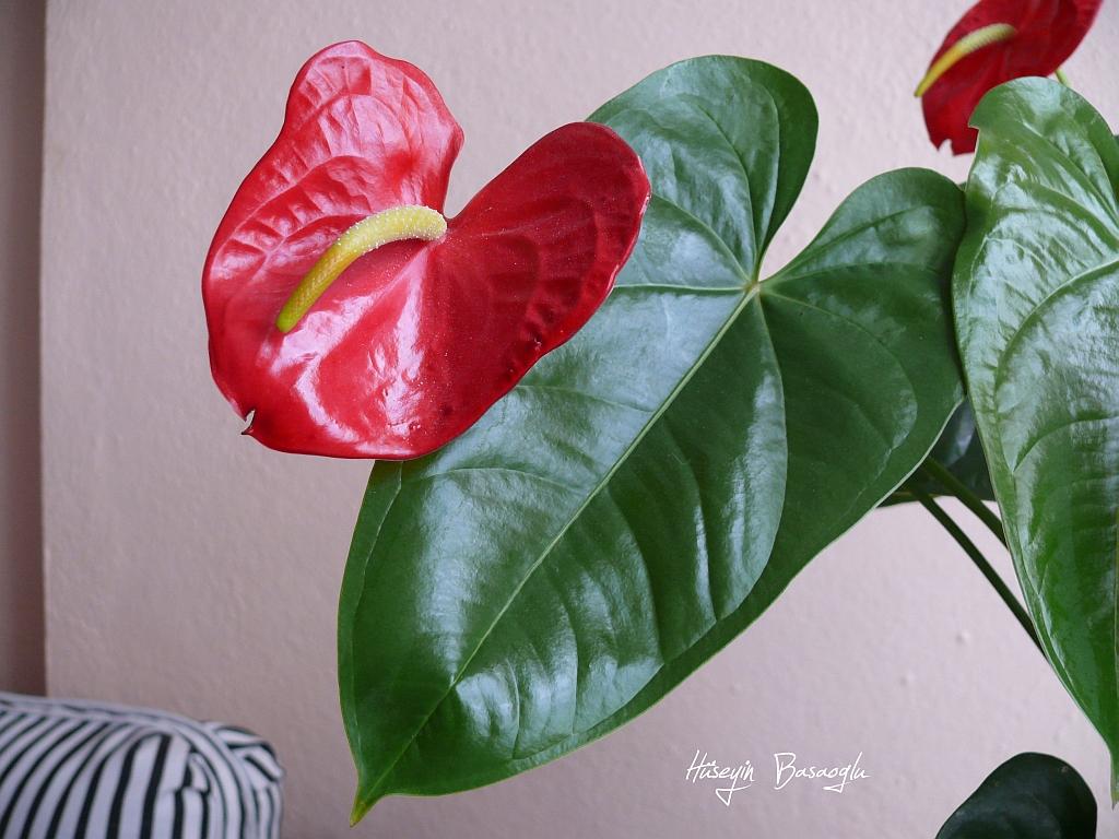 Antoryum çiçeği Annemin Evinde Kırmızı Kırmızı Açan Bir An Flickr