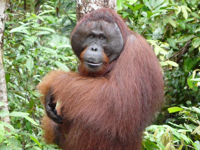 Orangután en Tanjung Puting (Borneo, Indonesia)