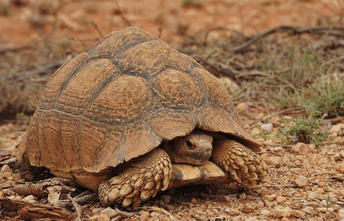 10b. Desert tortoise beside the road | by Breaking the Cycle