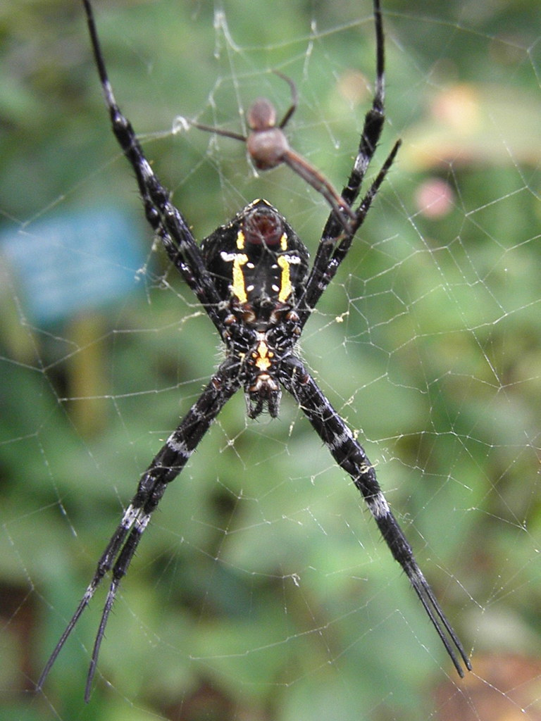Hawaiian Sugar Cane Spider Hawaiian Rainforest Spider Flickr
