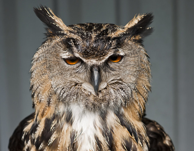 Bengal Eagle Owl (Bubo bengalensis) - Up close and personal!