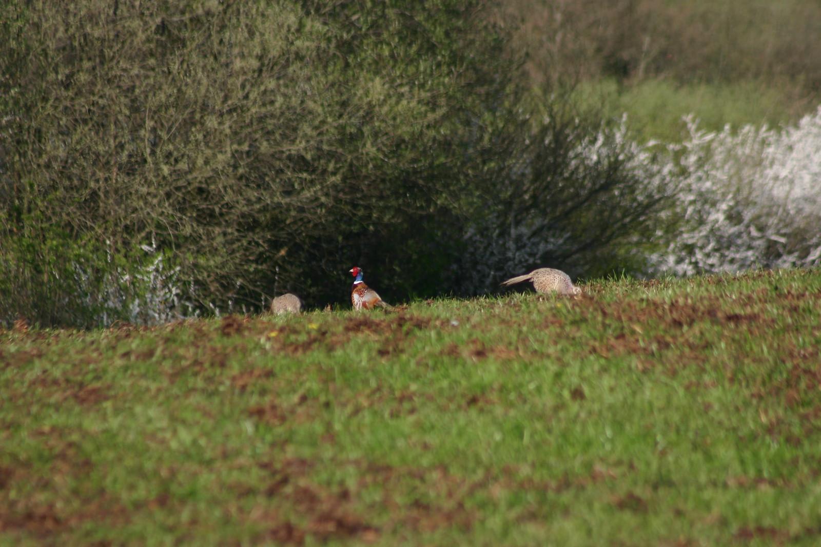 Pheasant a trois