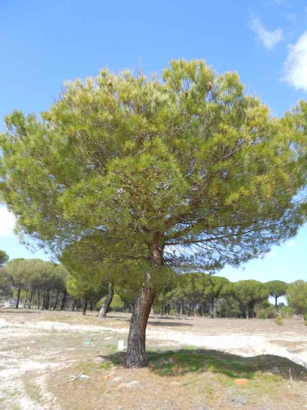 Pinus pinea v 1