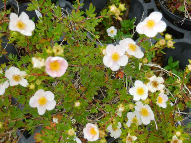 Potentilla fruticosa 'Princess' 2