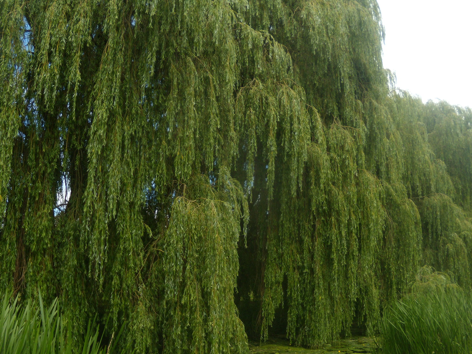 Willows on the Blackwater Kelvedon circular