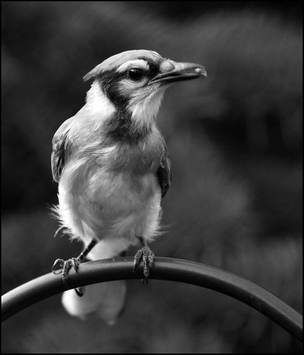 A Black and White Blue Jay | by Dawn Huczek
