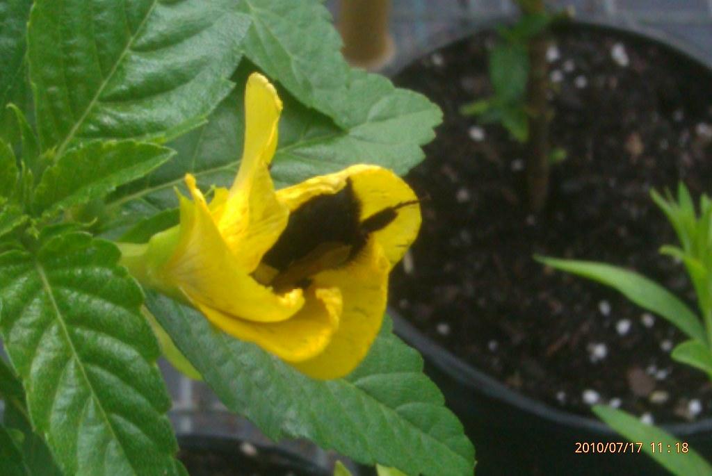 Bees love Damiana too!