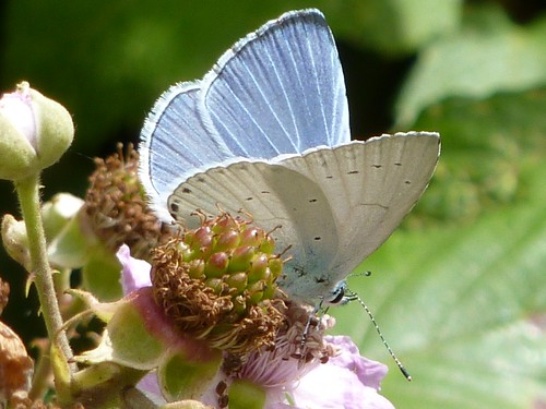 Celastrina argiolus (m) - Holly Blue
