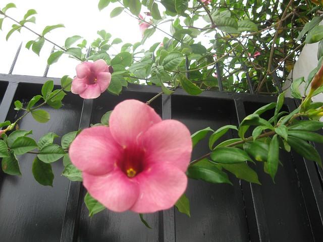 Allamanda 'Cherries Jubilee' blanchetii