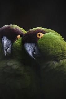 Amor en plumas. Rhynchopsitta terrisi Cotorra serrana oriental | by MandoBarista