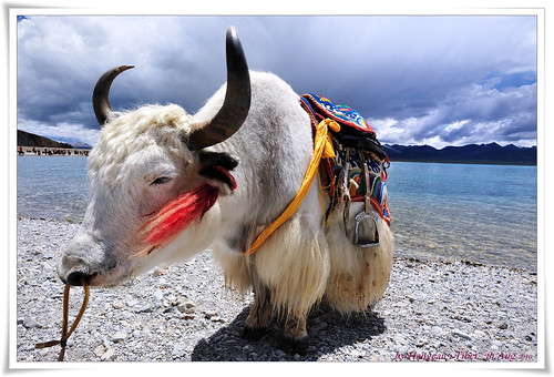 White yak | by fgcp035