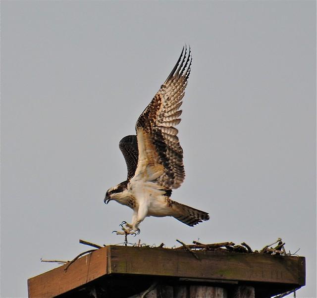 Juvenile Osprey taking off