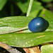 Flickr photo 'Blue Bead Lily - Clintonia uniflora' by: MT Lynette.