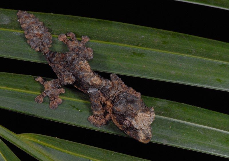 Uroplatus alluaudi | hatchling | Olaf Pronk | Flickr