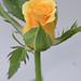Si Mawar Kuning