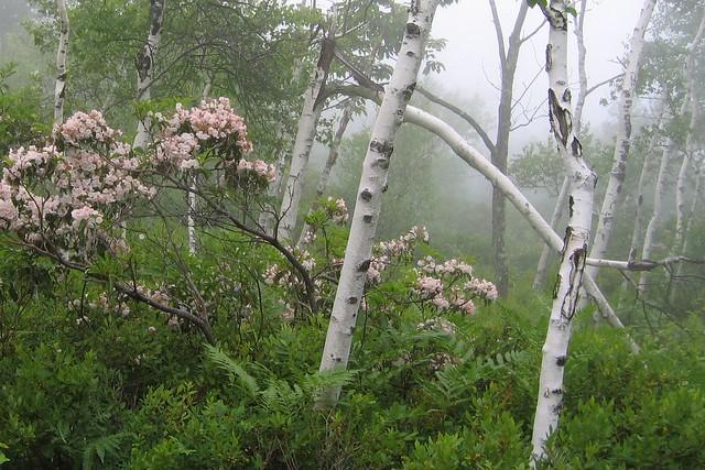 Birch & Mountain Laurel