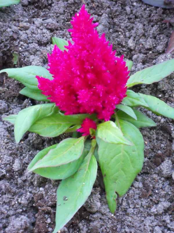 Celosia cristata 'Plumosa' fuxia v 1