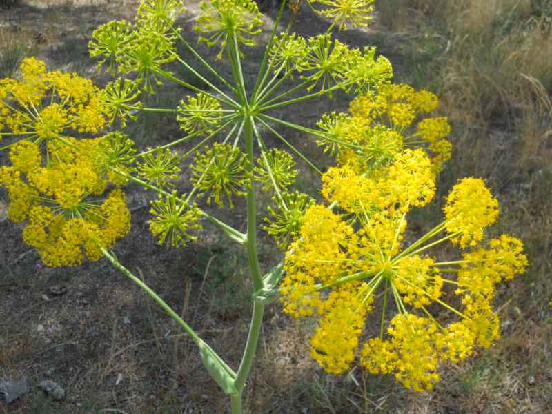 Foeniculum vulgare 'Rubrum' 1