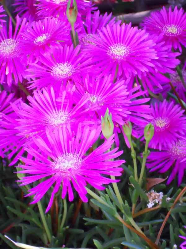 Lampranthus spectabilis v 1