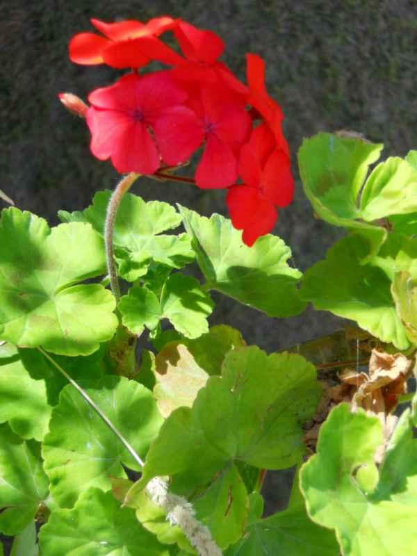 Pelargonium zonale v 4