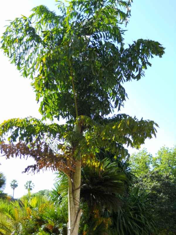 Caryota maxima 'Blume' v 1