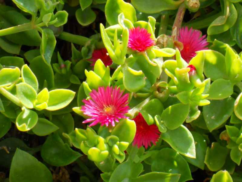 Aptenia cordifolia detalle 1