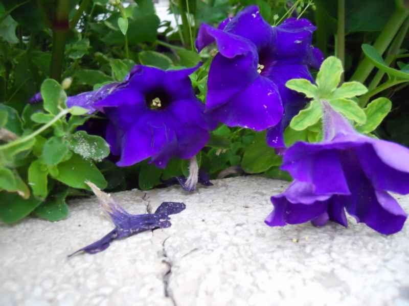 Petunia miliflora 2