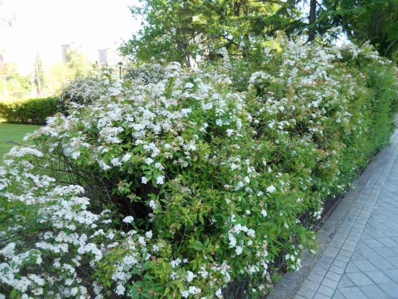 Spiraea japonica seto 3