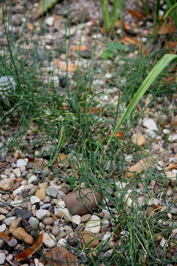 Ephedra sinica - Ma Huang | noriko stardust | Flickr
