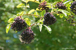 Mature Elderberry | by Renate Dodell