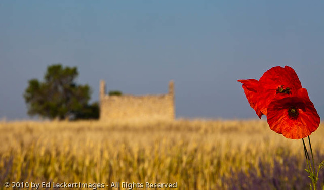 Poppies, Provence, France