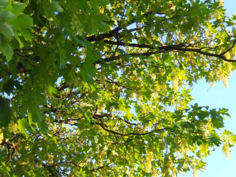 Acer platanoides.. ramas 4