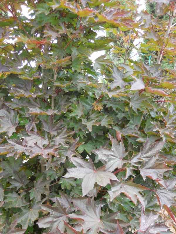 Acer platanoides 'Crimson Sentry' v 2