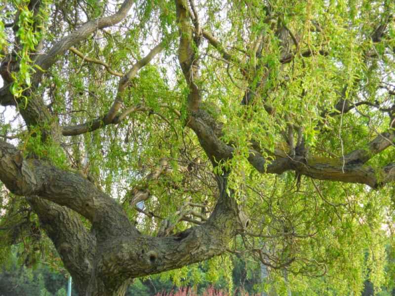 Salix babylonica 'Pekinensis'  2