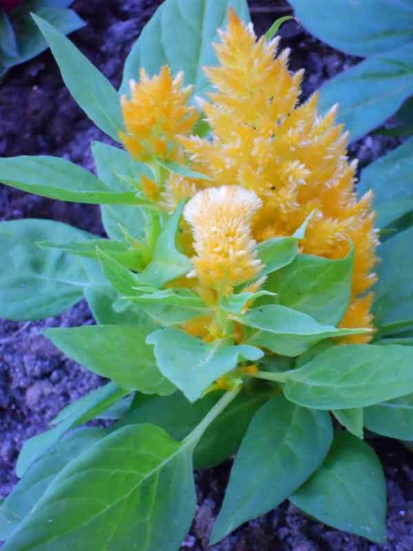 Celosia cristata 'Plumosa' amarilla v 2