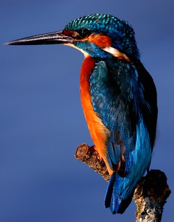 Guarda rios  - Kingfisher (Alcedo atthis) | by Joaquim Chaves
