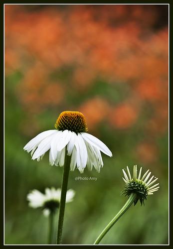 orange white flower macro green garden echinacea coneflower 100mmf28 waynepa canoneos50d chanticleergarden lilybokeh