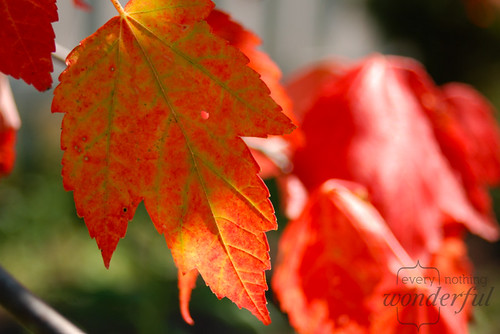 FallLeaf1 | by {every}nothing wonderful