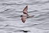 Fork-tailed Storm-Petrel (Oceanodroma furcata) by shyalbatross232